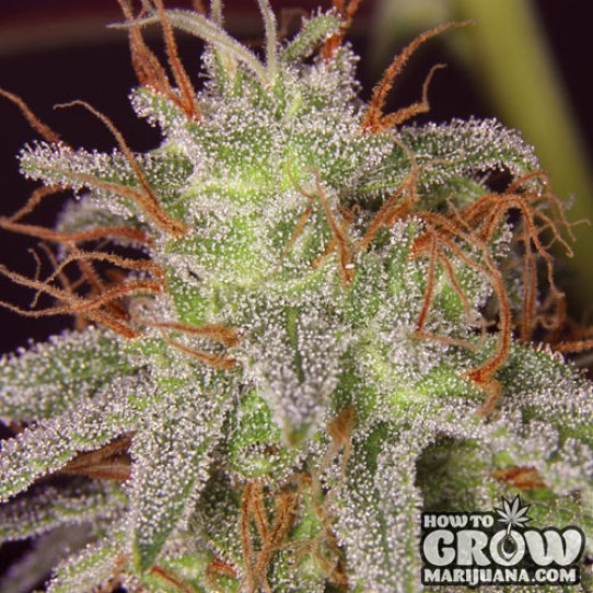 Barney's Farm – Amnesia Lemon Feminized Seeds