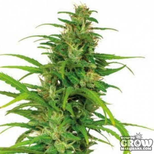 Barneys – Flower Power Autoflowering Feminized Marijuana Seeds