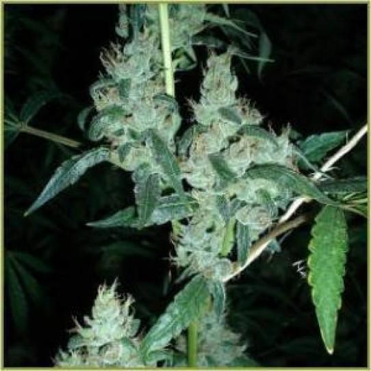 Barneys LSD Feminized Marijuana Seeds