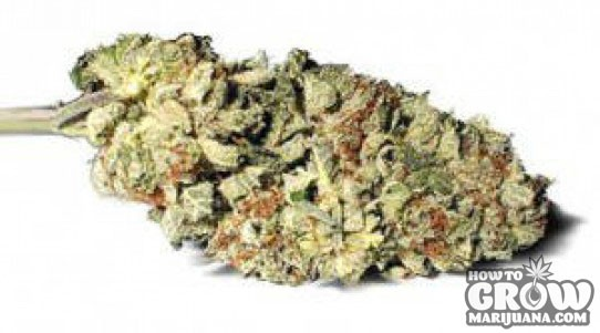 Darren Morgan – B.C. Bud Feminized Marijuana Seeds