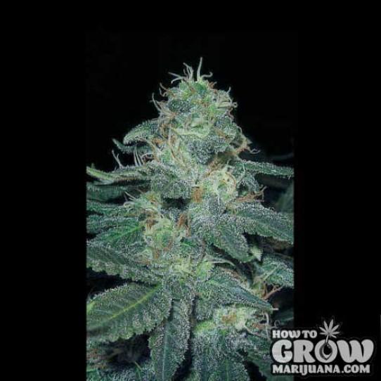 Blimburn – BC Diesel Seeds