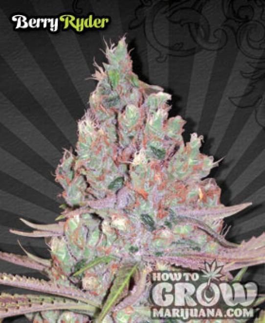 Auto – Berry Ryder Autoflowering Feminized Seeds