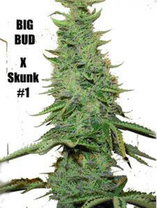 how to grow skunk weed