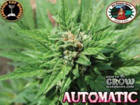 Big Buddha Automatic Autoflowering Feminized Marijuana Seeds