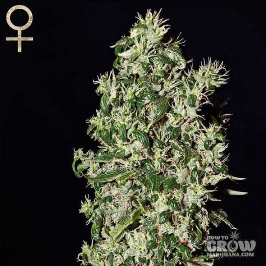 GreenHouse – Big Tooth Seeds
