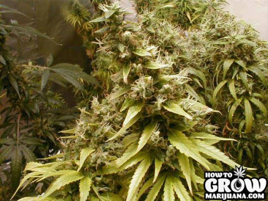 Dutch Seeds Shop – Big Bud Feminized Seeds