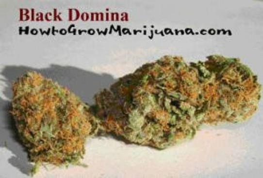 Black Domina Weed Seeds