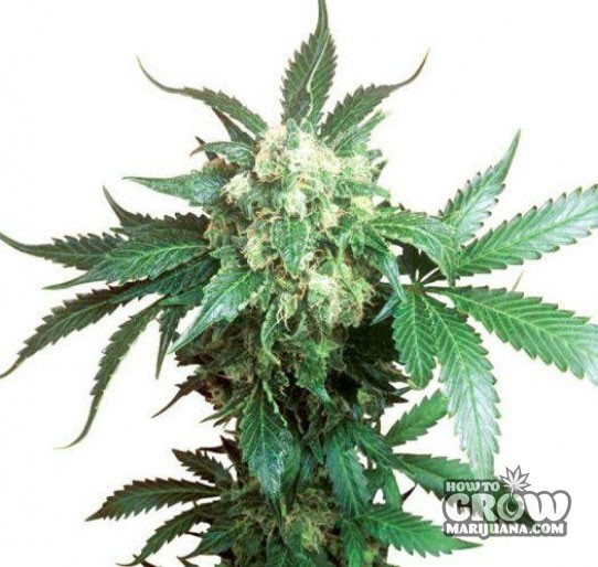 Sativa Seeds – Blackberry Feminized Marijuana
