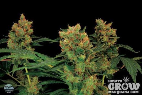 Dinafem – Blue Hash Feminized Seeds