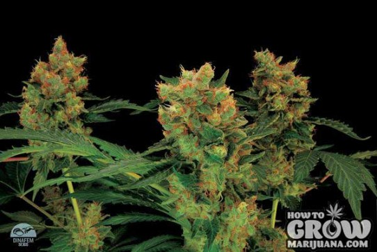 Dinafem – Blue Hash Feminized Seeds