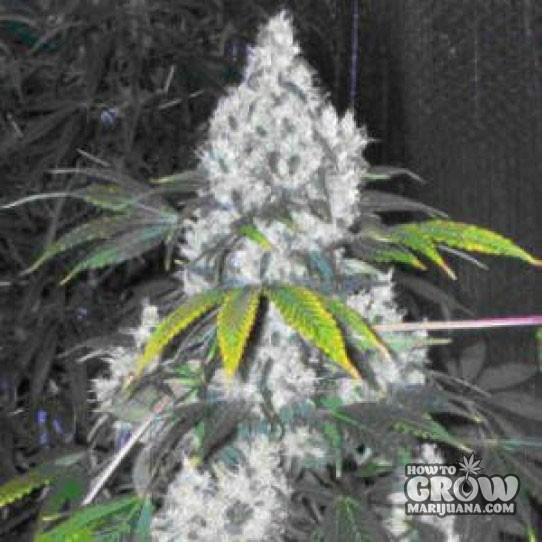 Nirvana – Blue Mystic Autoflowering Feminized Seeds