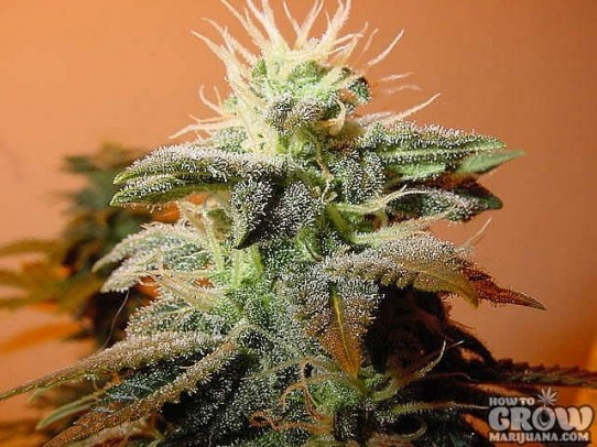 Bubblegum Seeds –Strain History – Buy Feminized, Autoflowering and Regular