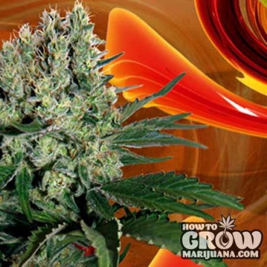 Buddha – Syrup Autoflowering Feminized Seeds