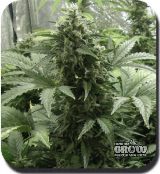 Buddha – White Dwarf Autoflowering Feminized Marijuana Seeds