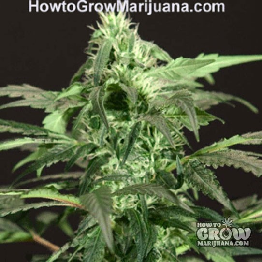Bulldog – Northern Light Feminized Marijuana Seeds