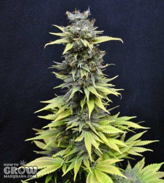 CBD Crew – Nordle Feminized Seeds