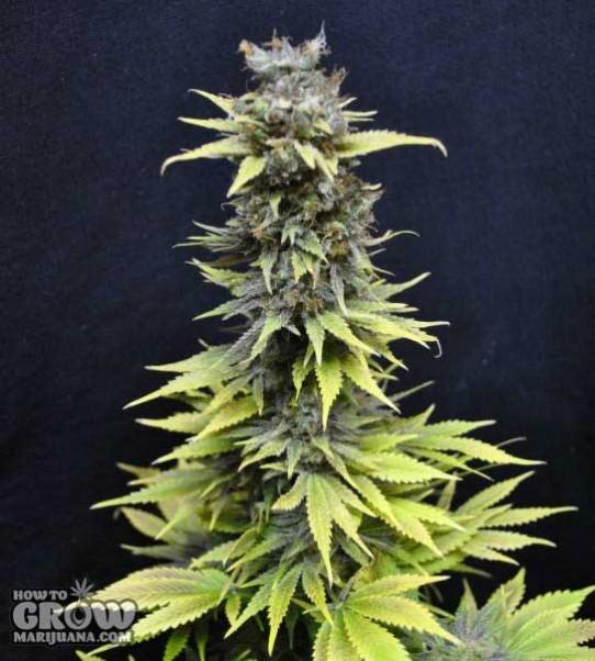 CBD Crew – Nordle Feminized Seeds