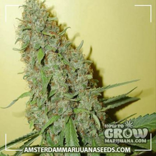 Cheese Feminized Marijuana Seeds