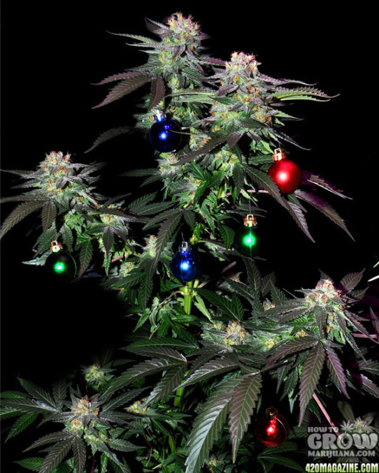 Have yourself a merry little Christmas with some awesome cannabis strains! Get the smell, feel and warmth of the holiday season!