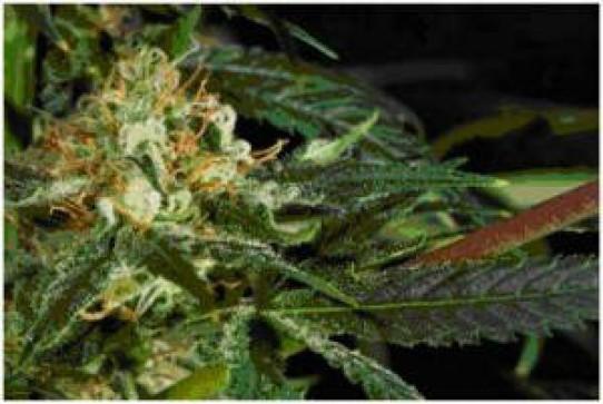 Cloud 9 Weed Seeds