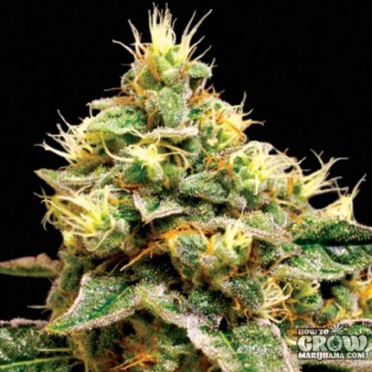 DNA Genetics – Confidential Cheese Feminized Seeds