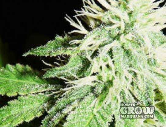 Nirvana – Crystal Feminized Marijuana Seeds