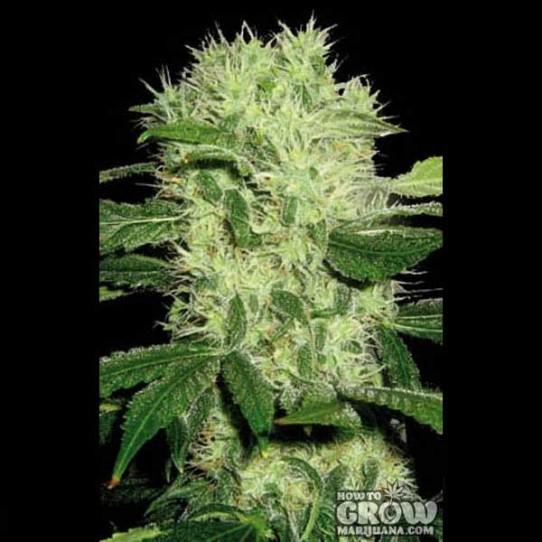 Blimburn – Dama Blanca Feminized Seeds