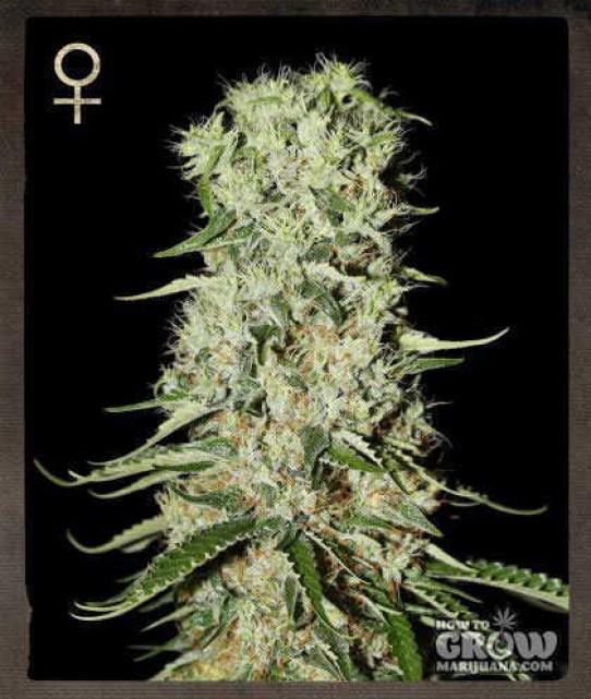 Greenhouse – Damnesia Feminized Seeds