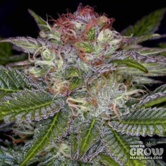 TGA Subcool – Deep Purple Seeds