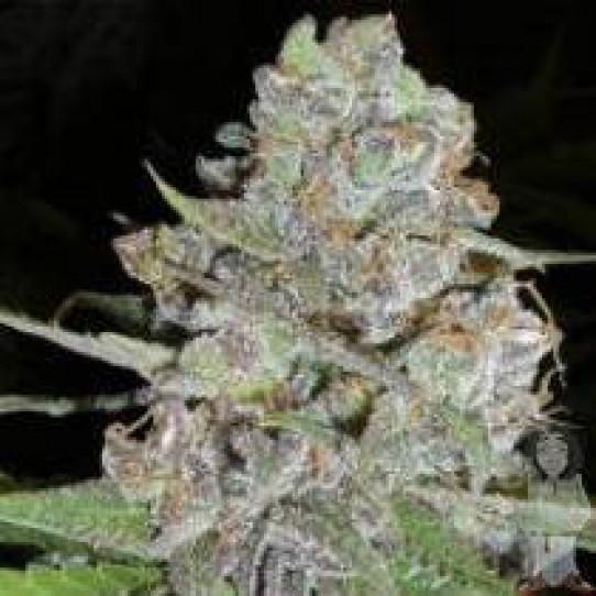 Delicious La Diva Autoflowering Feminized Marijuana Seeds
