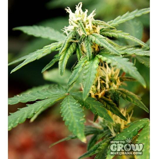 Delicious – La Diva Autoflowering Feminized Marijuana Seeds