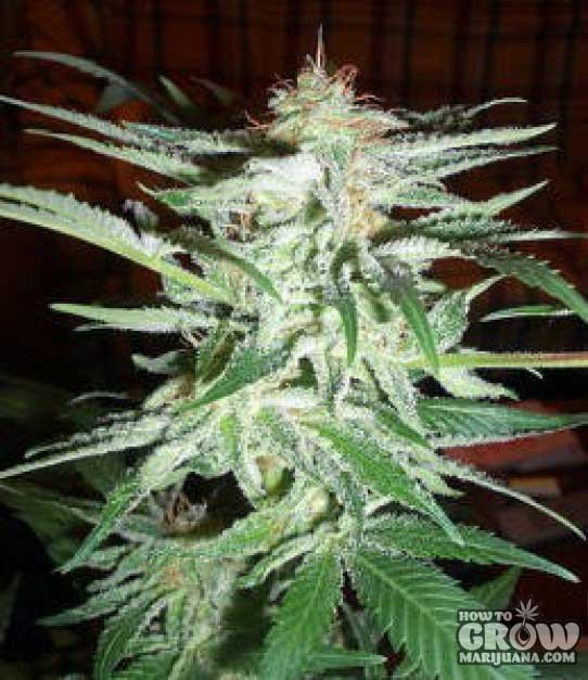 World of Seeds – Delirium Feminized Cannabis Seeds