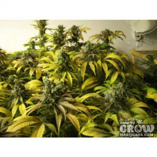 California Breeders Association – Diesel Truth Band Seeds