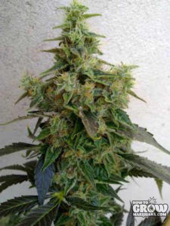 Resin – Dieseltonic Feminised Seeds
