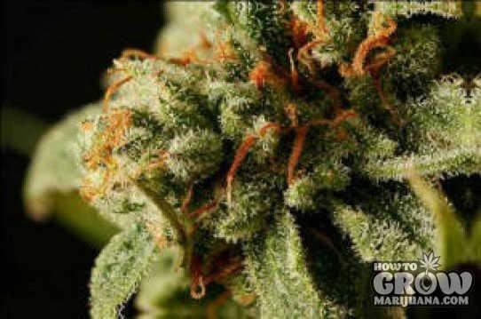 Dinafem – Sweet Deep Grapefruit Feminized Marijuana Seeds