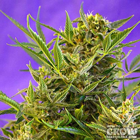 Sweet – Double White Feminized Cannabis Seeds