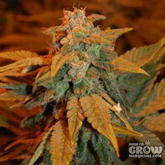 Dready – Berry AutoFlowering Feminized Seeds