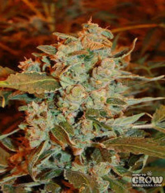 Dready – Skunk AutoFlowering Feminized Seeds