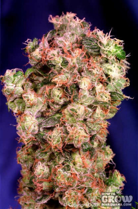 Dutch Passion – Oasis® Feminized Marijuana Seeds