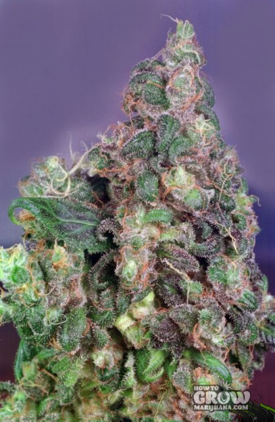 Dutch Passion – Flo Feminized Seeds