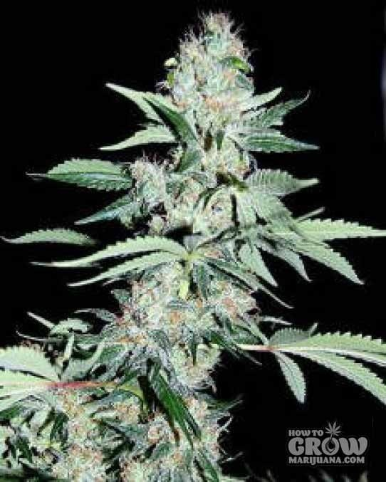 Dutch Passion Power Plant Feminised Marijuana Seeds
