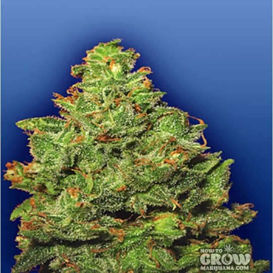 Flying Dutchmen – Edelweiss Cannabis AutoFlowering Feminized Seeds