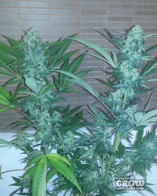 Green House - Exodus Cheese Feminized Seeds