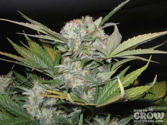 Sweet – Fast Bud #2 AutoFlowering Feminized Seeds