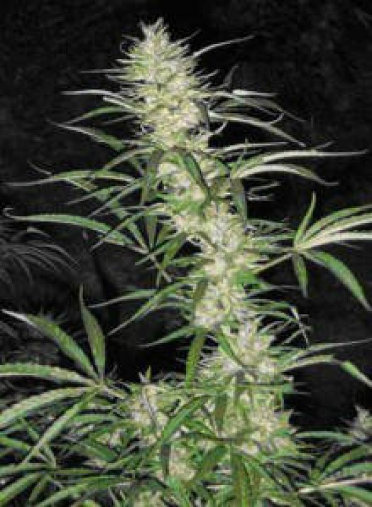 Fast Spear (Come Back Early) Weed Seeds