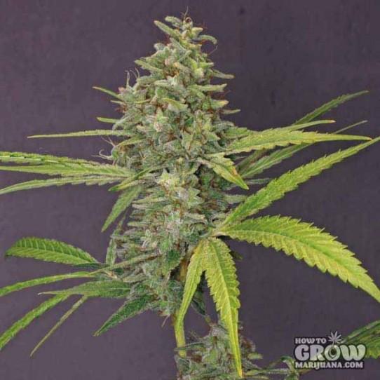 Barneys – G13 Haze Feminized Seeds