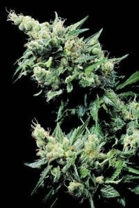 Hash Plant Marijuana Seeds
