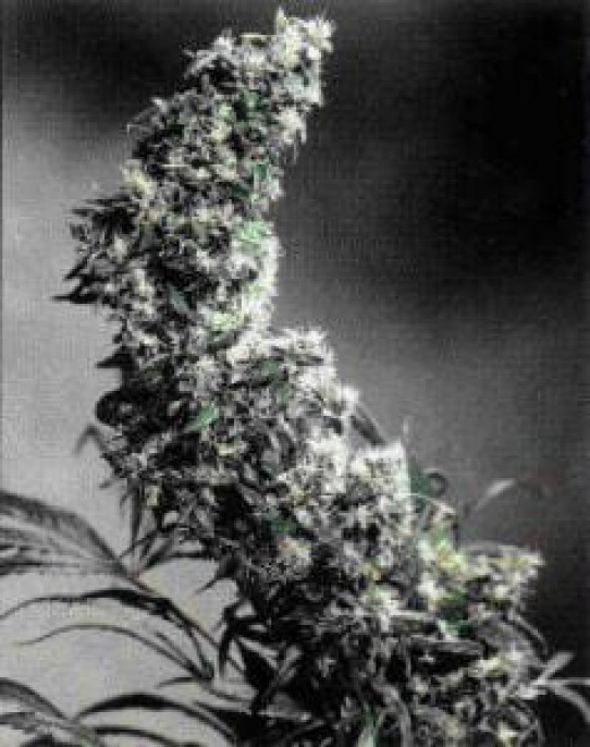Hawaiian Indica Weed Seeds