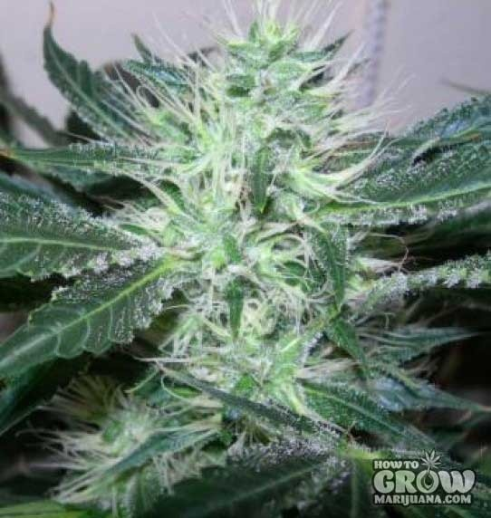 Nirvana – Ice Feminized Marijuana Seeds