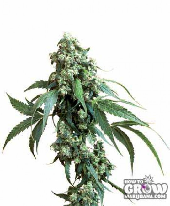 Sensi – Jack Flash Seeds